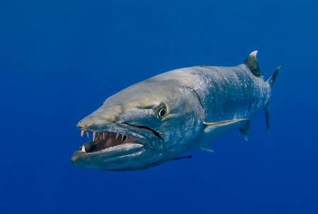 frontal view of barracuda