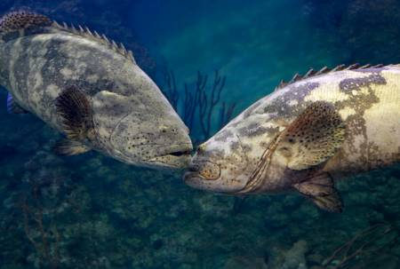 Two gag groupers